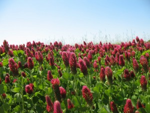 Cover photo for Crimson Clover Cover Crop Seed - AU Robin
