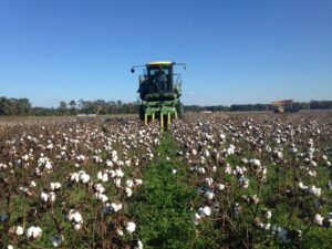 harvesting organic cotton