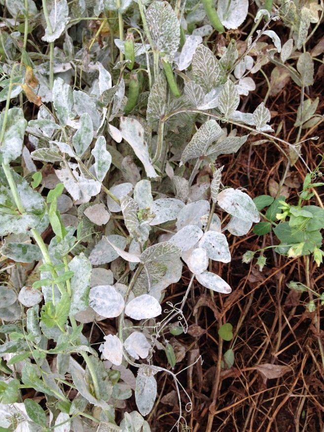 Powdery mildew presence